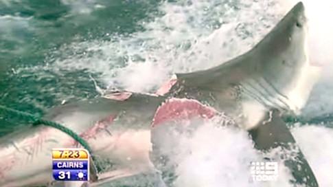 Shark bitten in half by another Shark