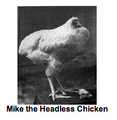 ever wonder what the longest living headless chicken was?